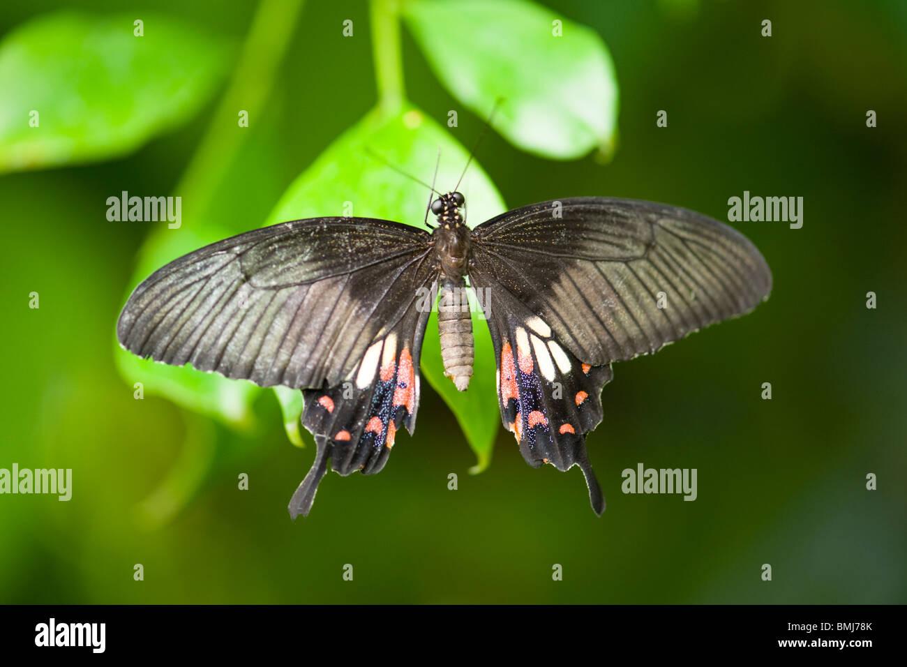 Golders Hill Park , papillon Papilio Polytes ou Mormon commun , forme femelle stichius , Asie , indigènes au Photo Stock