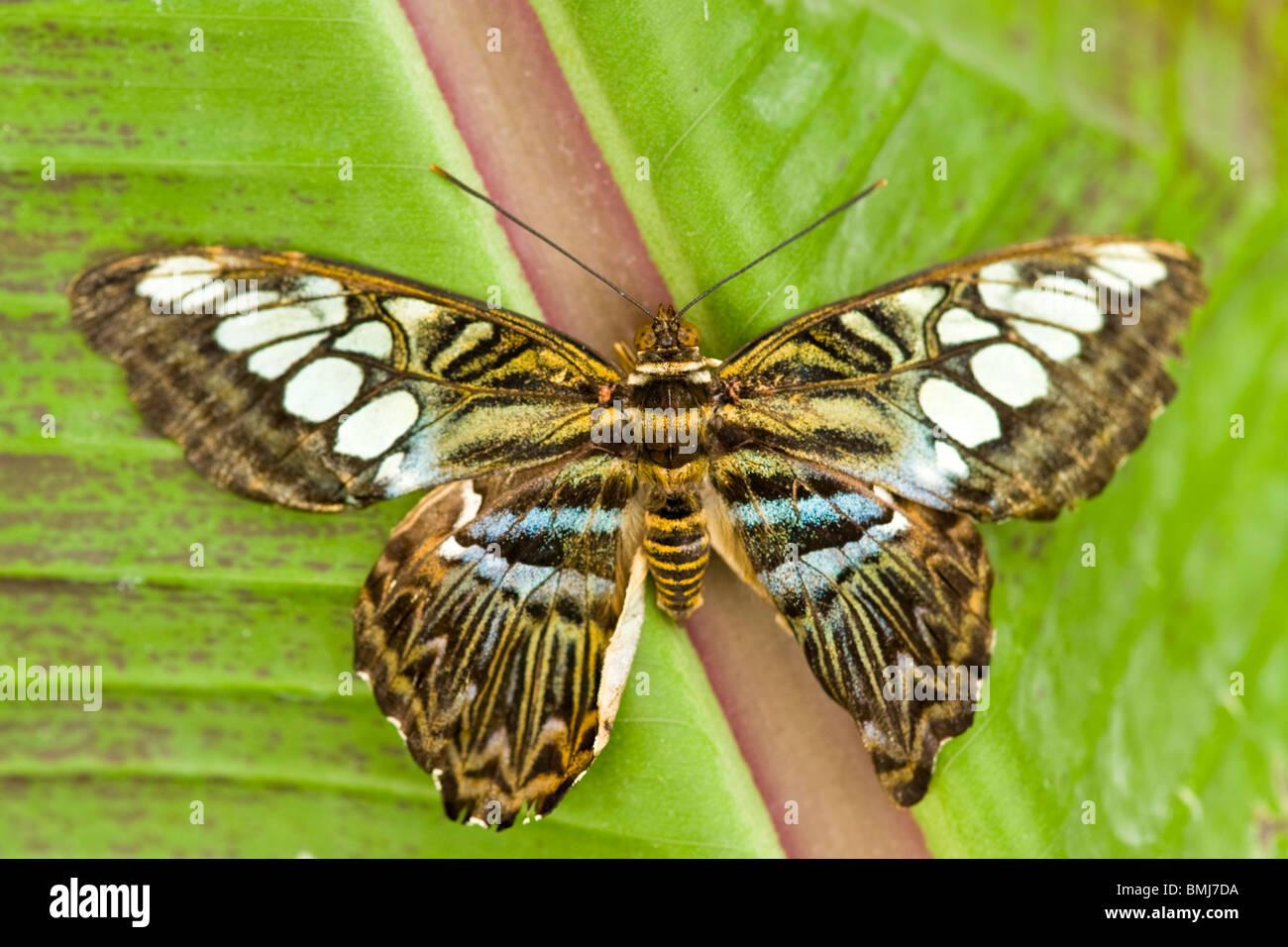 Golders Hill Park , papillon Parthenos Sylvia Lilacinus ou Clipper ( bleu ) , Asie du Sud natale , basking on leaf Photo Stock