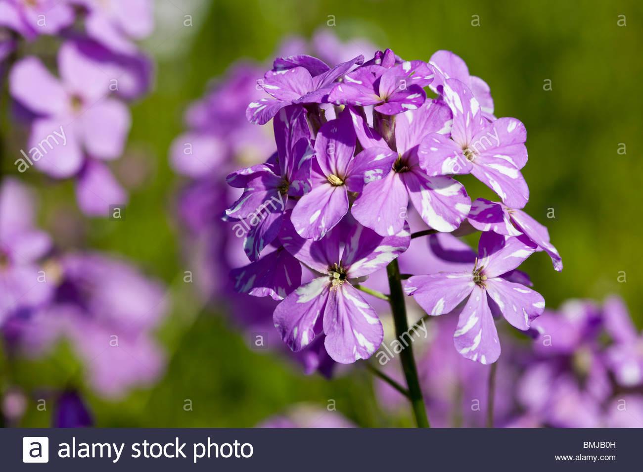 Dame's Rocket Hesperis matronalis ou de fleurs sauvages dans la vallée de la rivière Don à Toronto Photo Stock