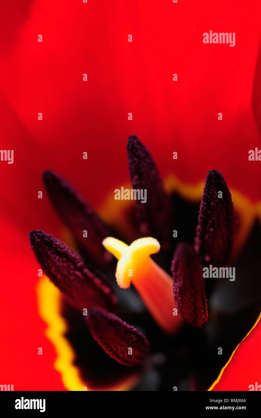 La Scandinavie, la Suède, Vastergotland, Molndal, Détail de la fleur de tulipe (differential focus) Photo Stock