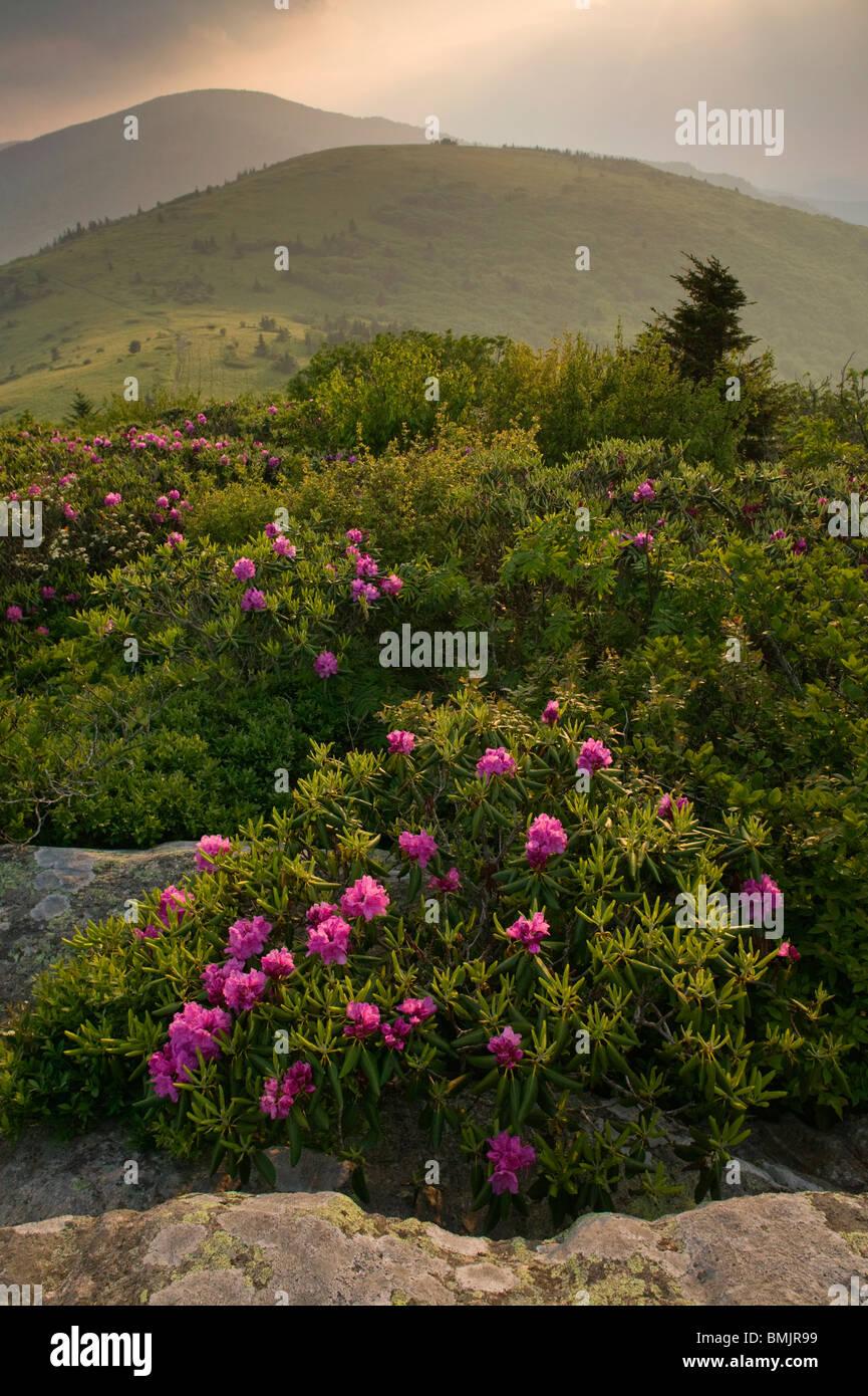 Rhododendron dans un paysage de montagne Photo Stock
