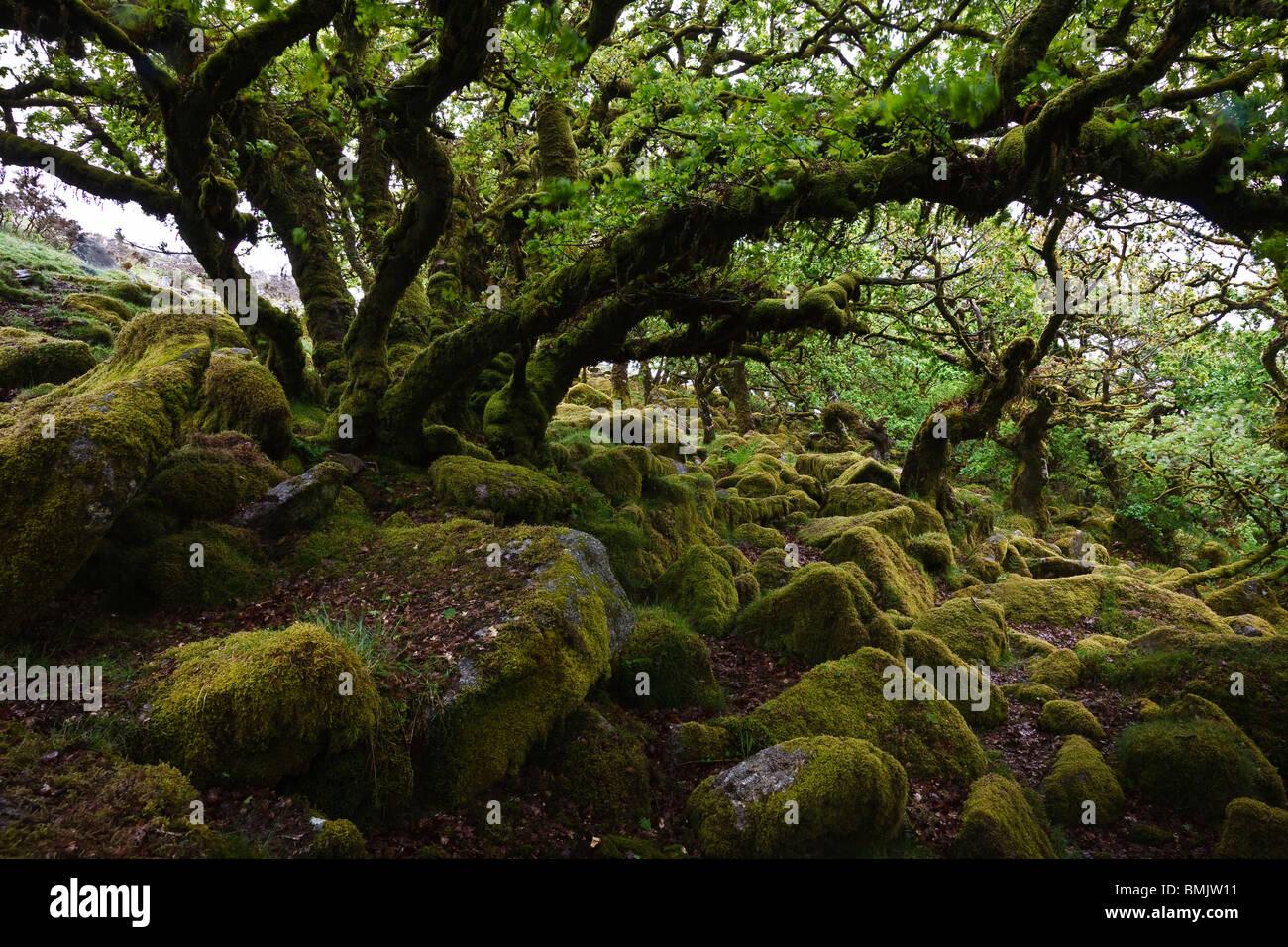 Vieux chênes dans Wistmans Wood, Dartmoor National Park, Devon, Angleterre Banque D'Images