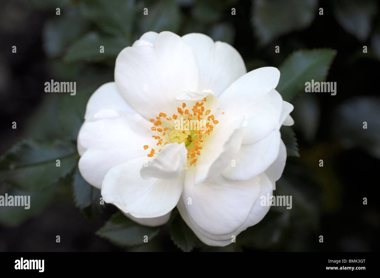 White Rose Vigorosa Photo Stock