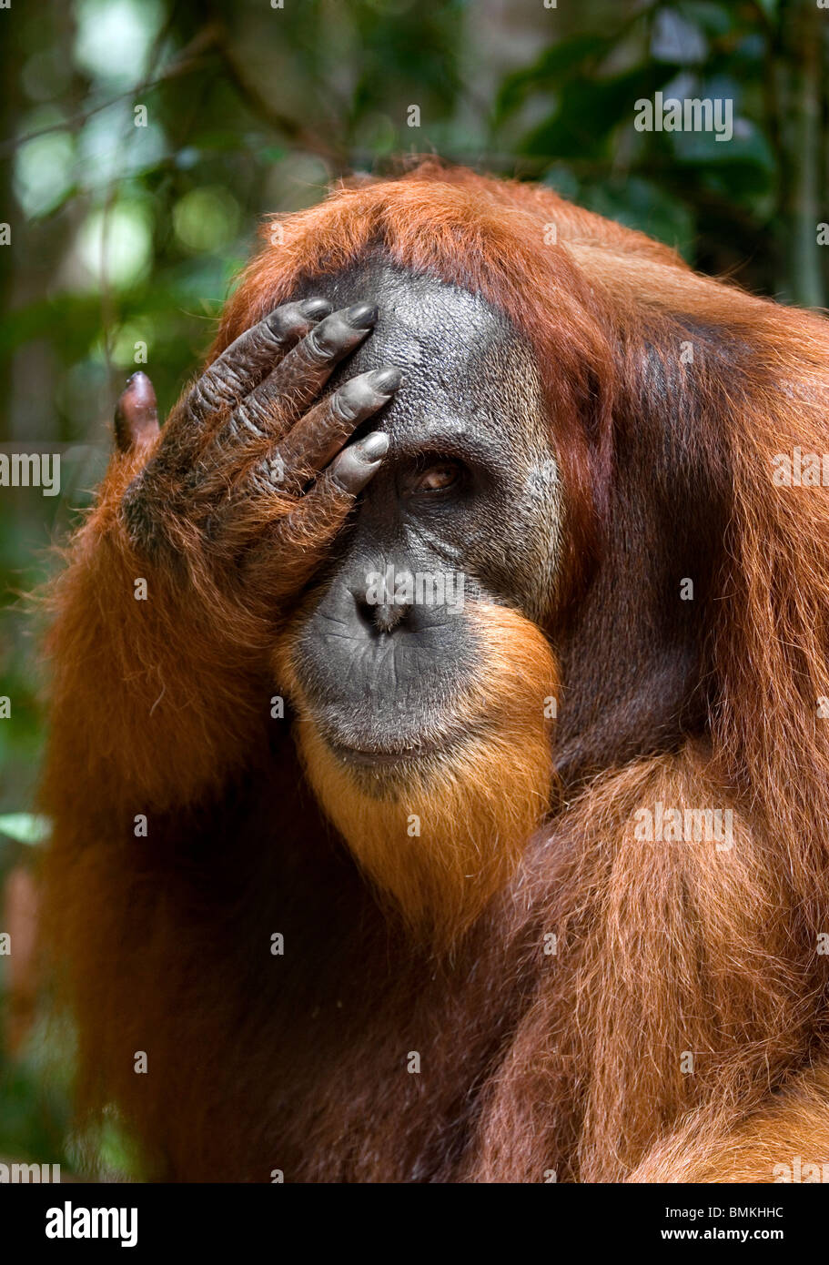 Les jeunes orang-outan, parc national de Gunung Leuser, Sumatra, Indonésie. Banque D'Images