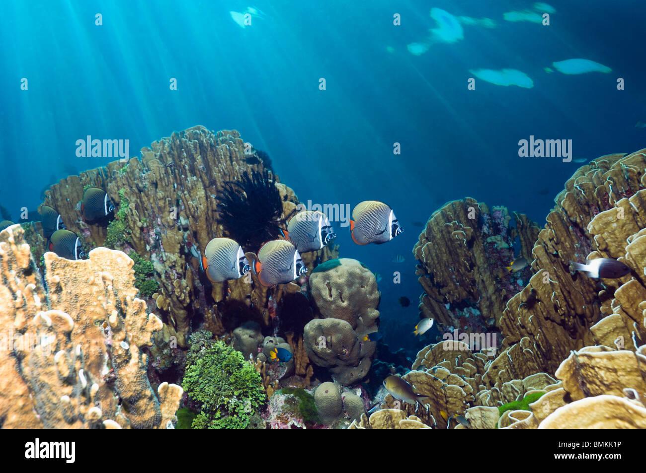 Redtail ou papillons munis de natation sur Blue Coral, qui est un fossile vivant. La mer d'Andaman, en Thaïlande. Photo Stock