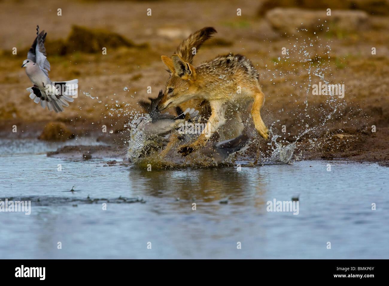 Chacal noir soutenu la poursuite de Tourterelles du Cap, Etosha, Namibie Photo Stock