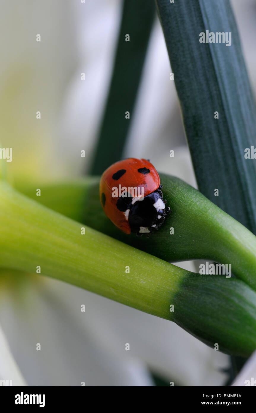Coccinella septempunctata Coccinellidae Coccinelle Spot 7 Coleoptera reposant sur des fleurs de narcisses fleur Banque D'Images