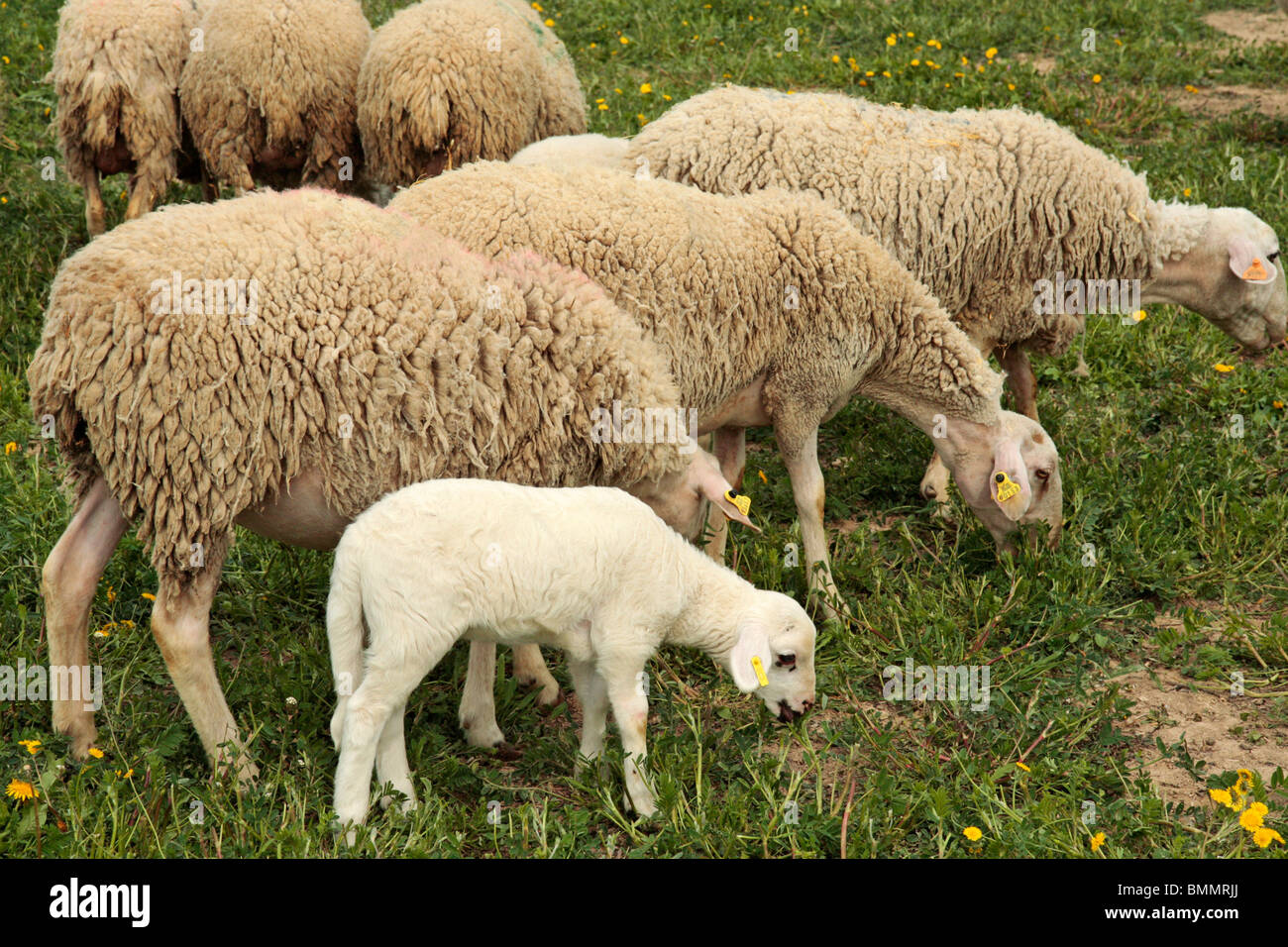 Moutons et agneaux. L'Espluga Calba (Lleida) Catalogne Espagne Photo Stock