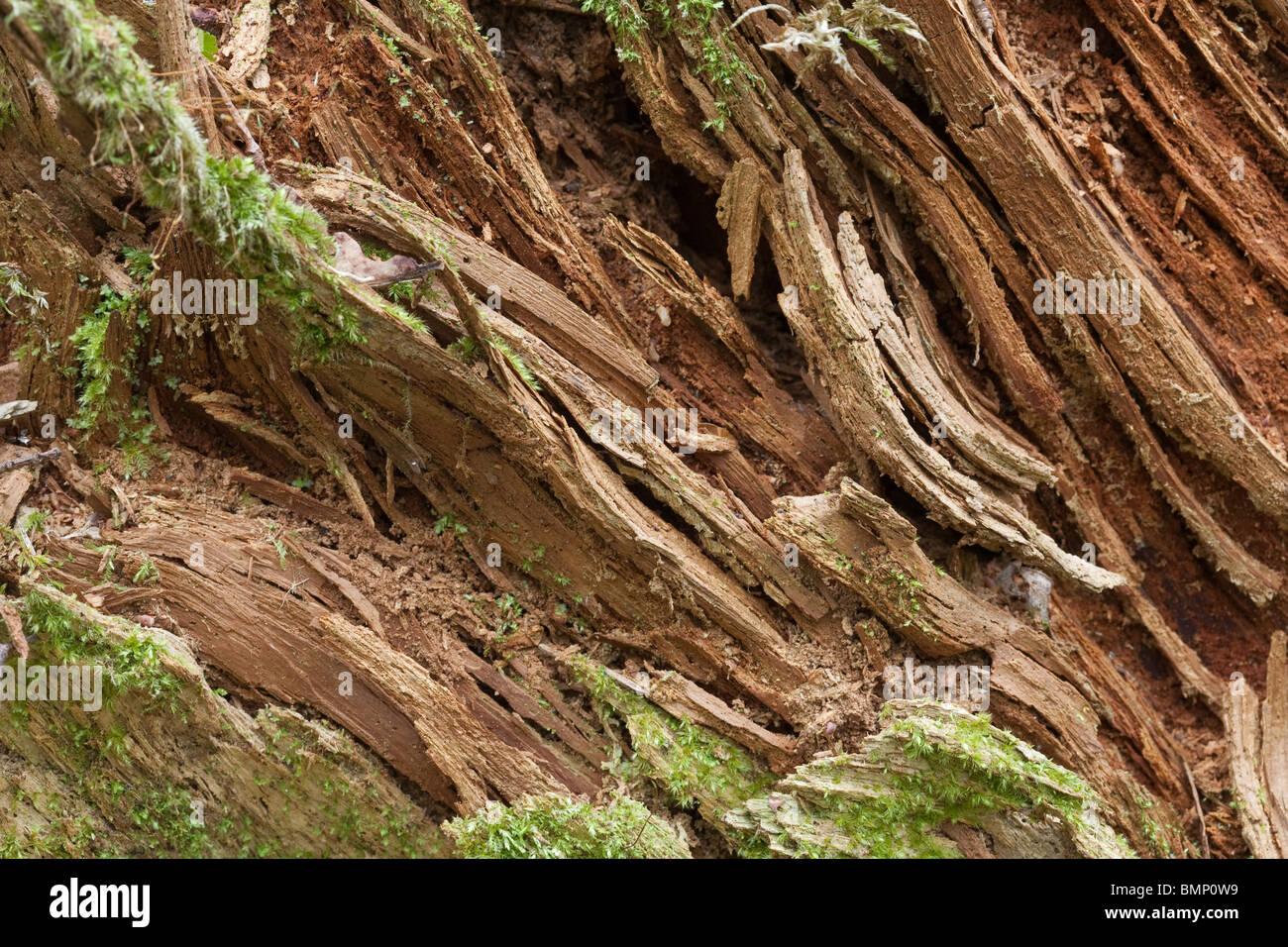 Le bois pourri gros plan l'arrière-plan Banque D'Images