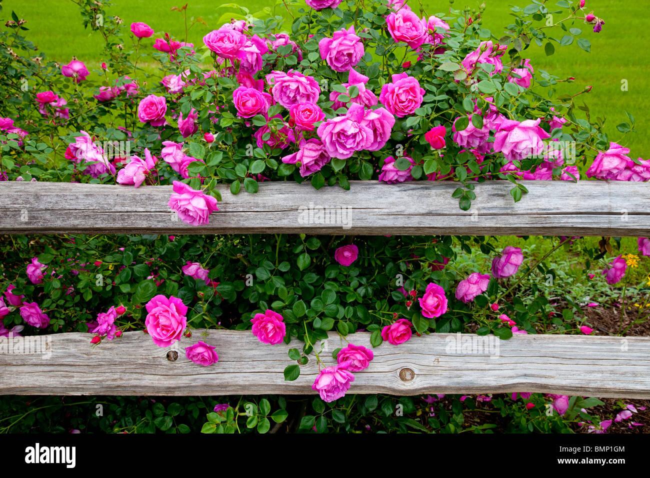 Des roses rose profond et une vieille clôture rustique à la jonction House Restaurant de Kingsland, Texas, Photo Stock