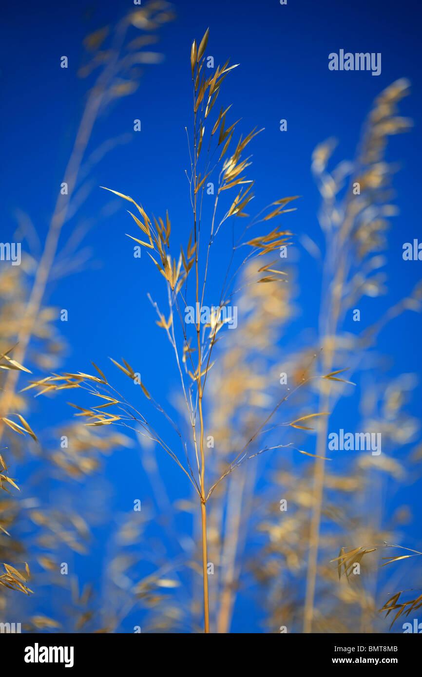 Stipa gigantea qui souffle dans la brise contre un ciel bleu profond Photo Stock