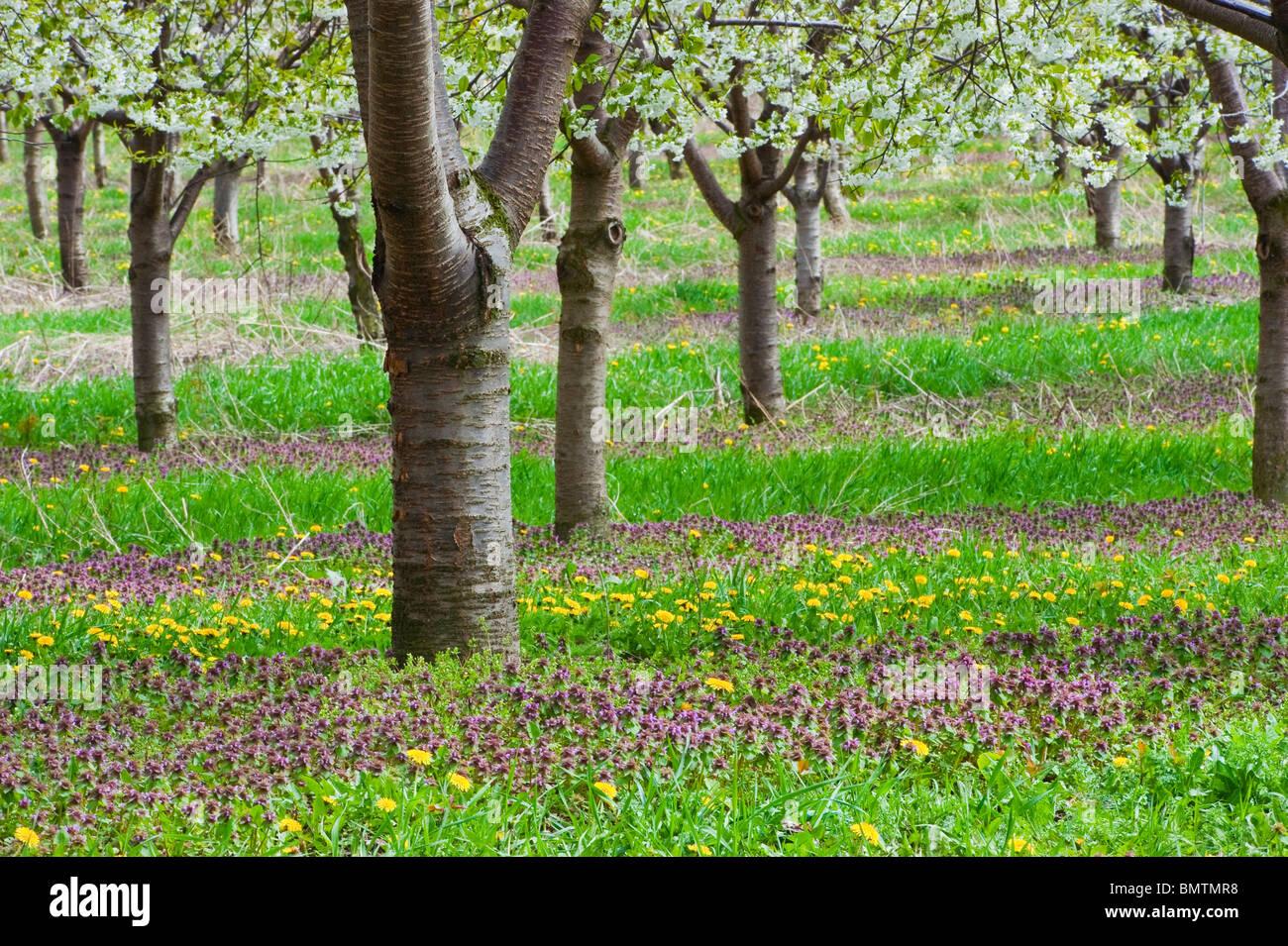 Les cerisiers en fleurs de printemps dans le comté de Mason, Michigan les vergers. Photographie par Jeffrey Photo Stock