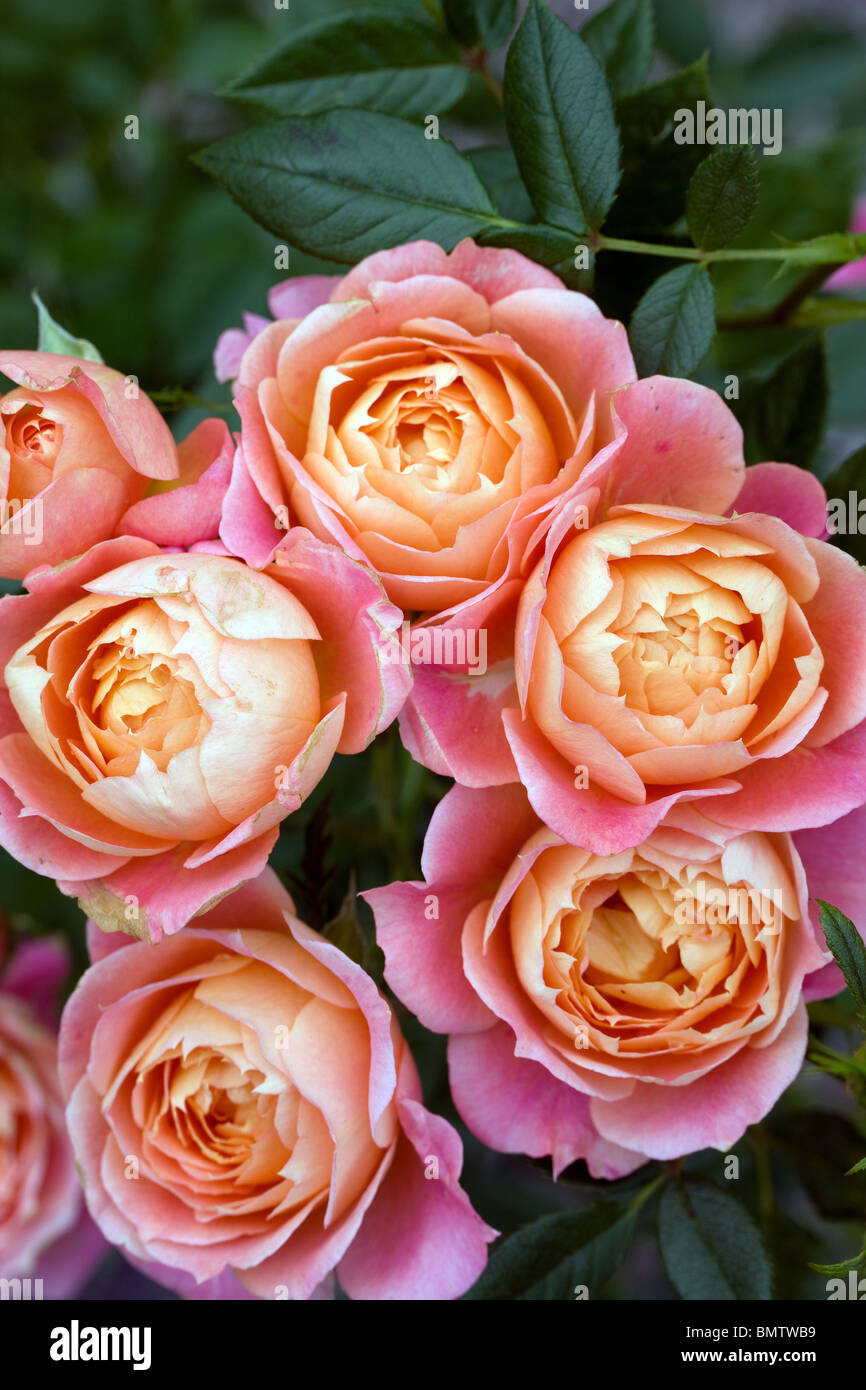 Roses, fleurs, jardinage, loisirs, nature, vert Photo Stock