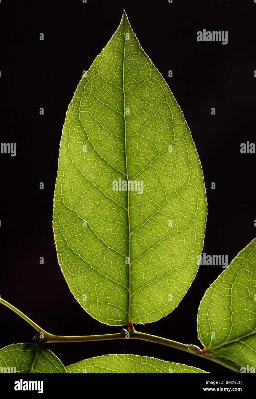 Plante verte feuille sur une branche, fond noir Photo Stock