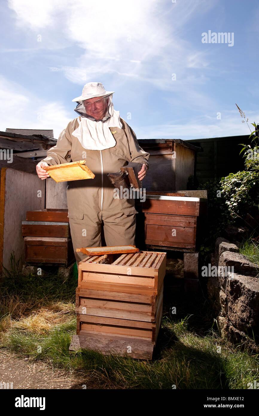 Apiculteur travaillant sur une ruche au jardin de banlieue en UK Banque D'Images