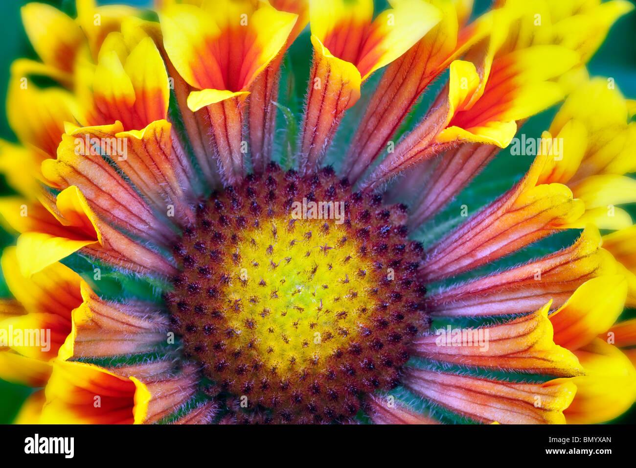 Close up de couverture (Gaillardia Fanfare Fleurs 'Fanfare'). Photo Stock