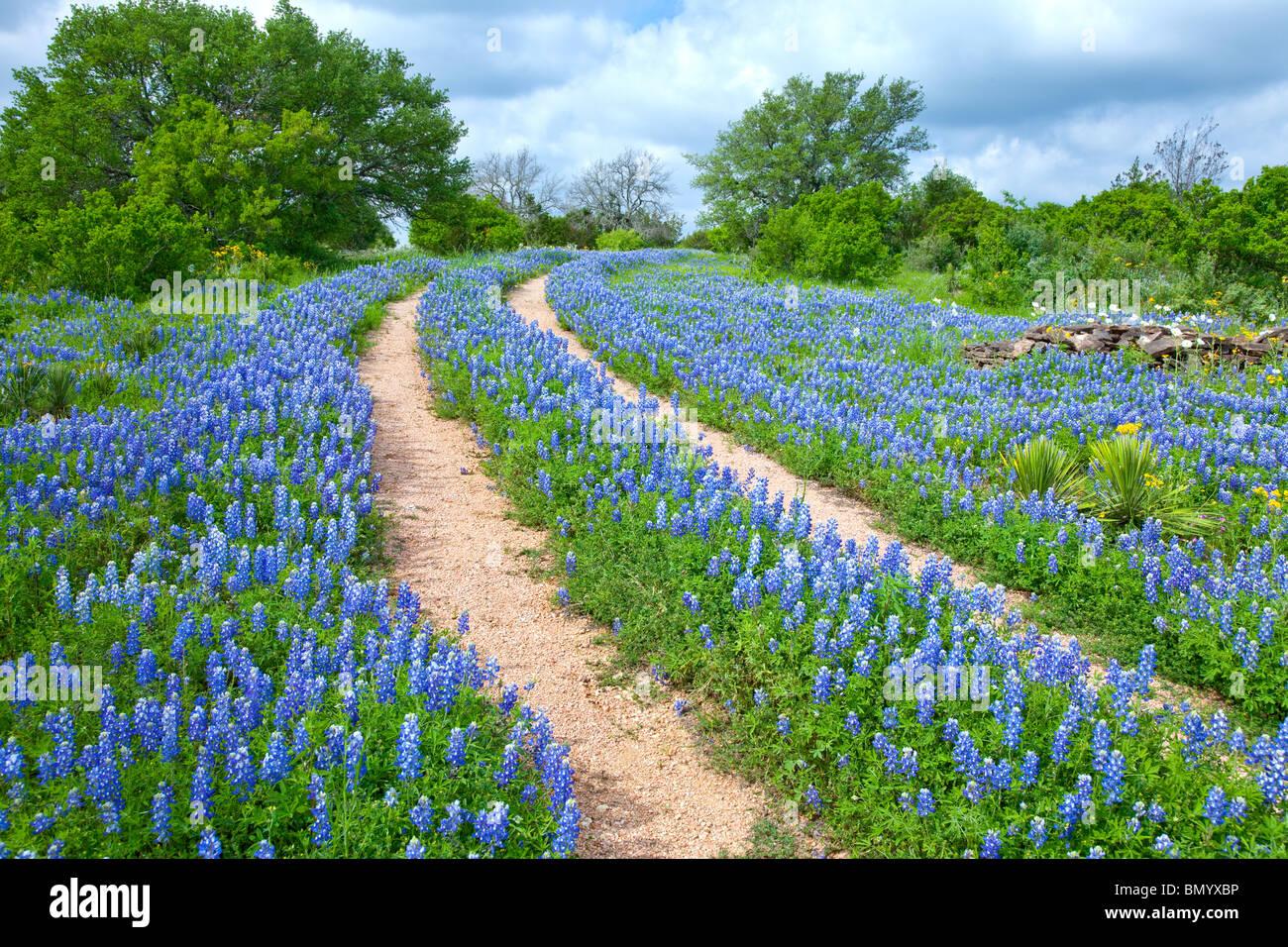 Double voie à travers un champ de Texas bluebonnets près de Sandy, au Texas. Photo Stock