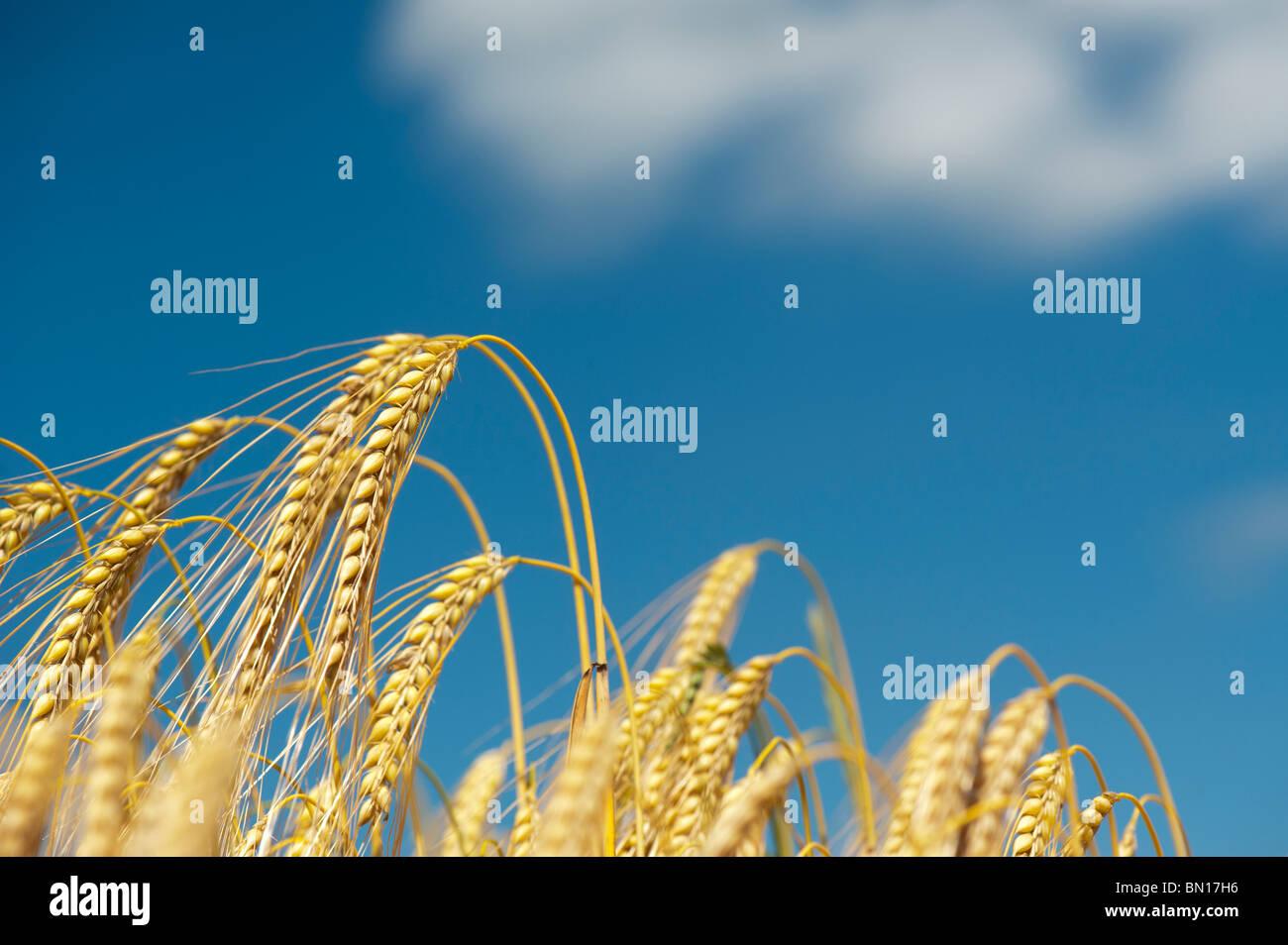 Hordeum vulgare. La maturation de la récolte d'orge dans un champs contre un ciel bleu Photo Stock