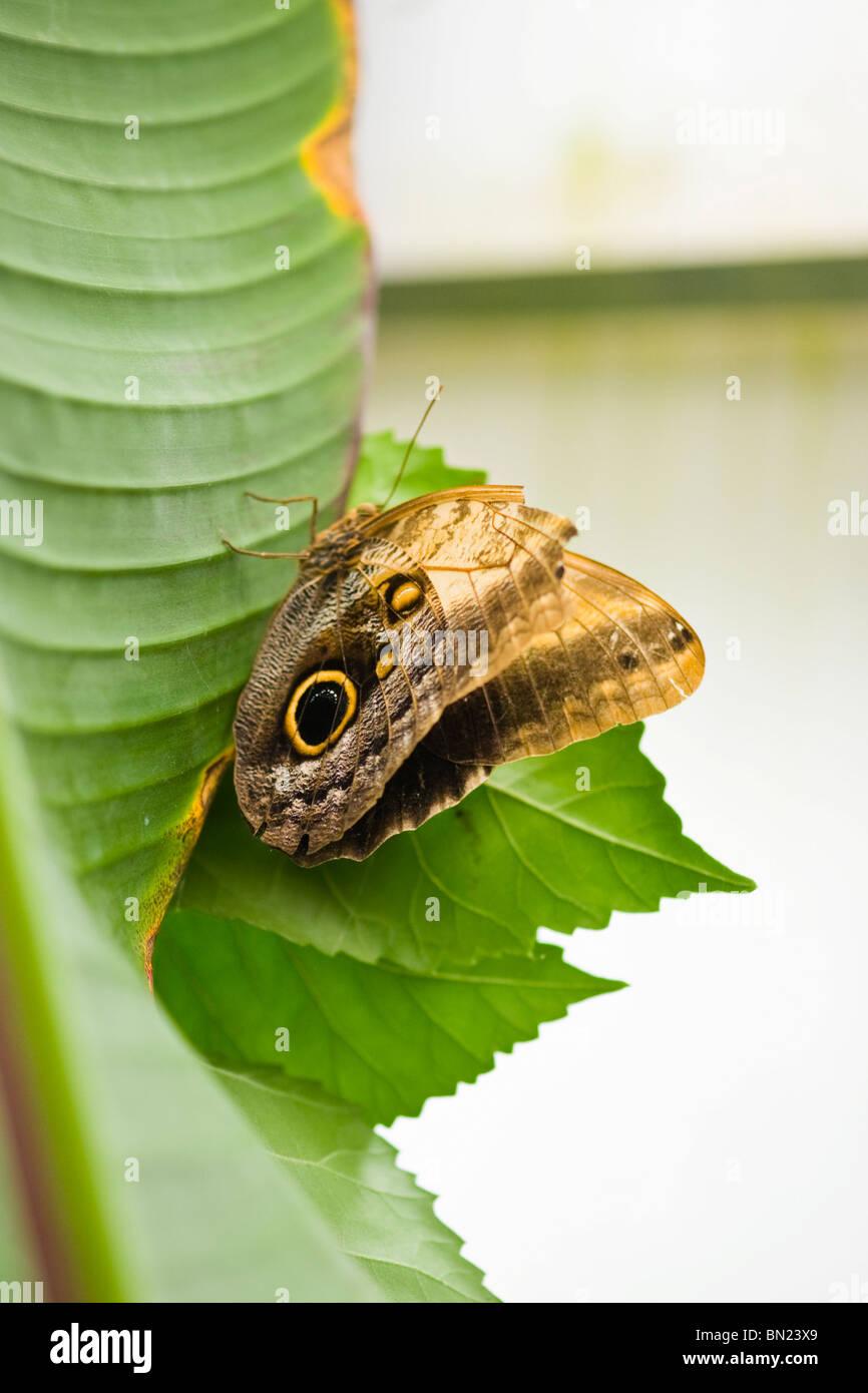 Golders Hill Park , papillon Caligo Eurilochus ou la Chouette tachetée en raison de son aile l'oeil détail Photo Stock