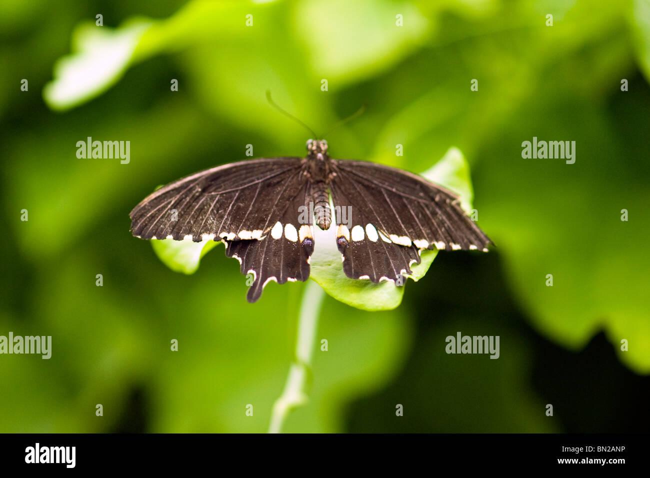 Golders Hill Park , papillon Papilio Polytes ou Mormon commun indigène , Asie , swallowtail basking on leaf Photo Stock