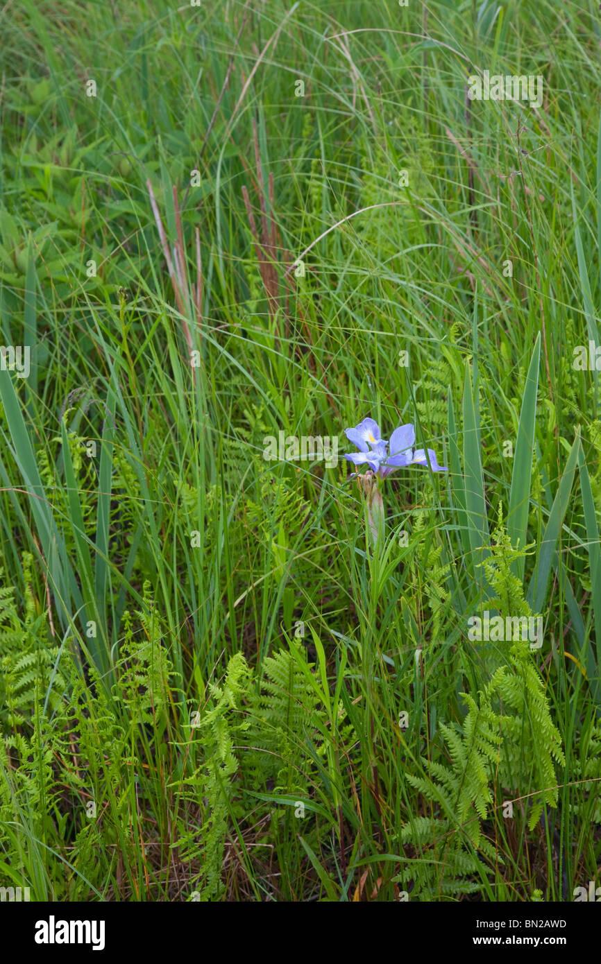 Iris, Chiwaukee Prairie State Natural Area, Wisconsin Photo Stock