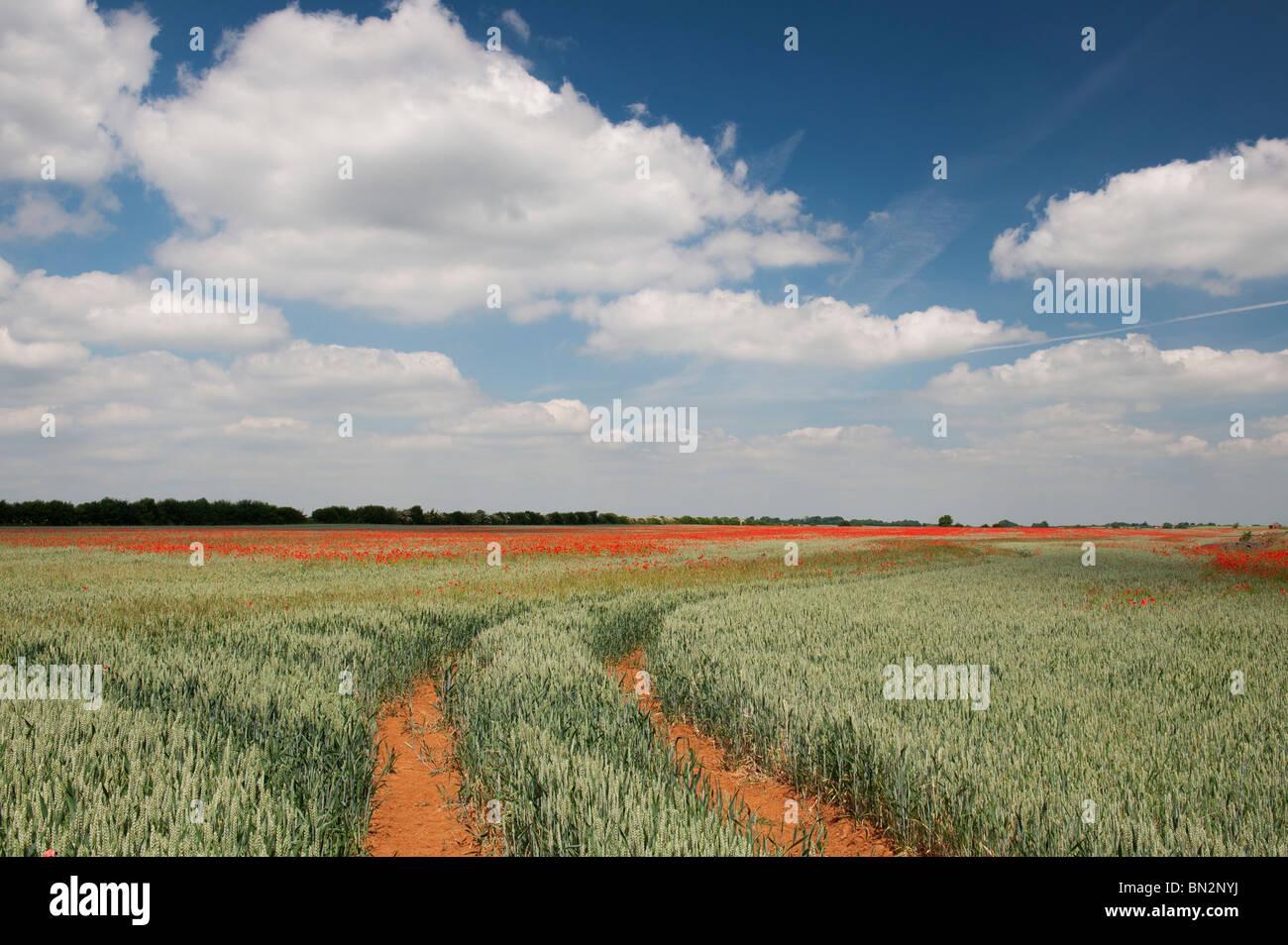 Les voies du tracteur par l'intermédiaire d'un champ de blé et de coquelicots dans la campagne Photo Stock