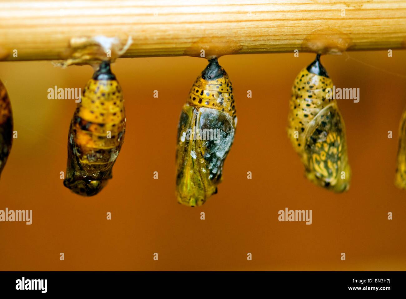 Golders Hill Park , papillon nymphe ou pupe prêts à éclore ou émergent ou se métamorphosent Photo Stock