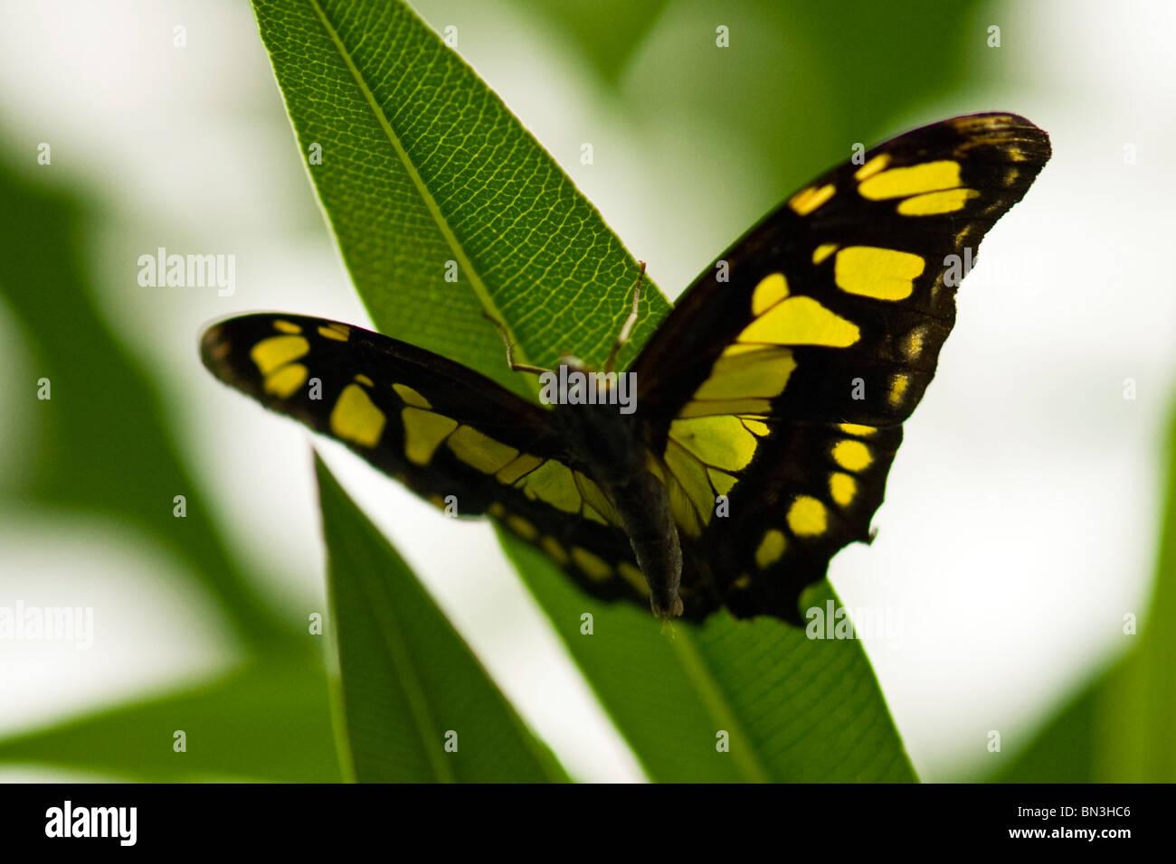Golders Hill Park , papillon Papilio Thoas ou Swallowtail Agrumes indigènes des Amériques , pèlerin Photo Stock