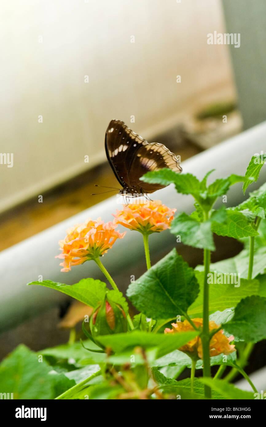 Golders Hill Park , papillon Papilio Polytes ou Mormon commun , forme femelle stichius , Asie , indigènes sur Photo Stock