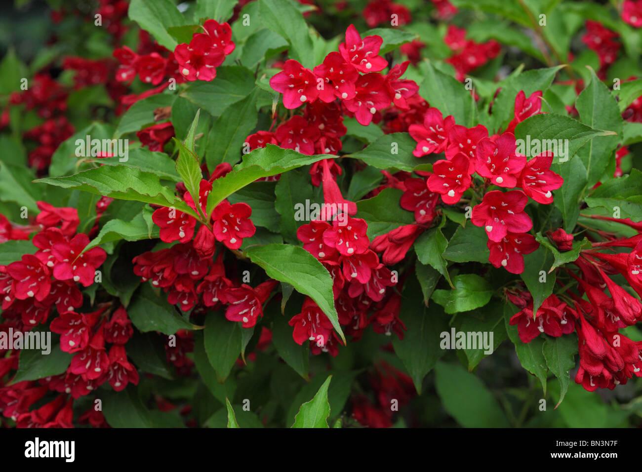 Fleur Rouge Arbuste Weigela Banque D Images Photo Stock 30200675