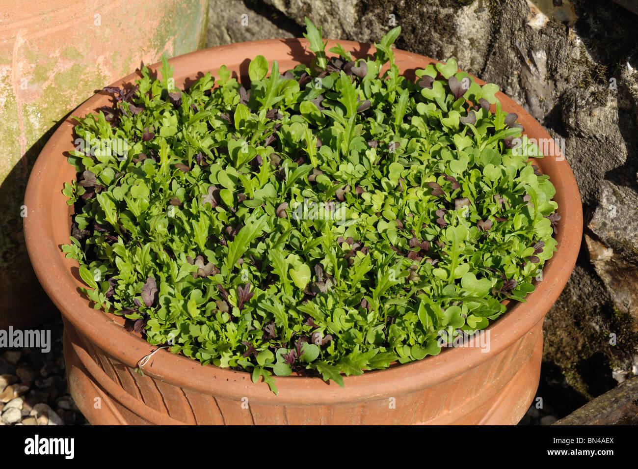 Sélectionner et entrer à nouveau la feuille de salade légumes poussant dans un pot en terre cuite Photo Stock