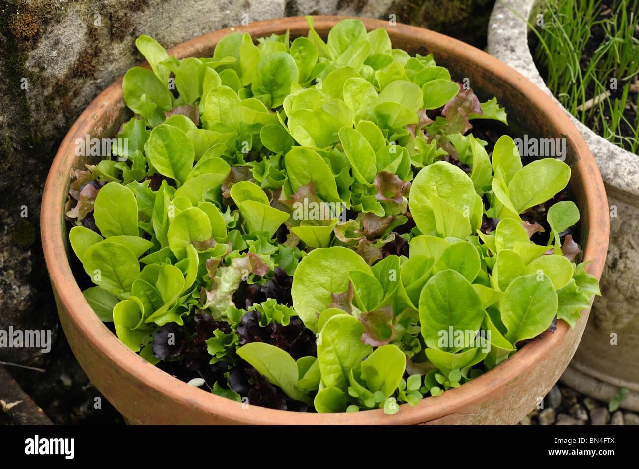 Sélectionner et revenir les légumes feuilles de salade de laitue poussant dans un pot en terre cuite Photo Stock