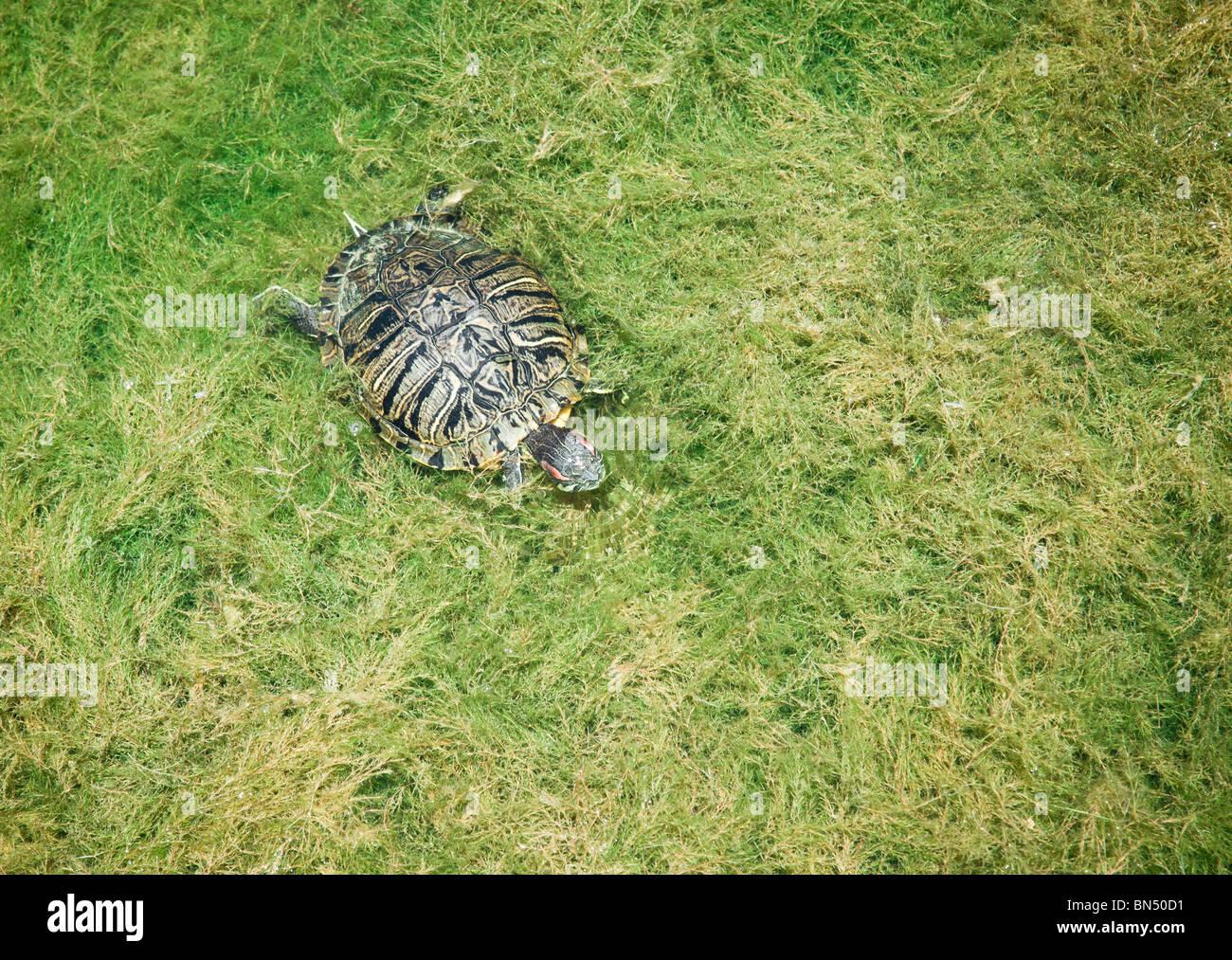 Une tortue nageant à travers le feuillage épais Photo Stock