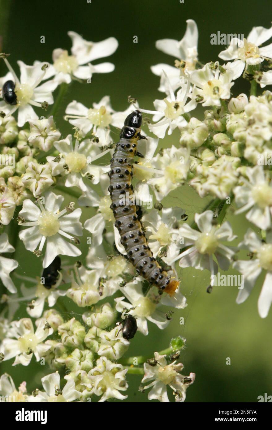 Espèce de panais Panais ou larve de la tisseuse, Depressaria pastinacella, Depressariinae, famille des lépidoptères, Photo Stock
