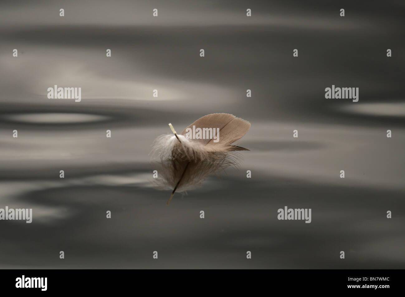 Plume d'oiseau solitaire flottant à la surface de l'eau dans la Tamise près de Teddington Lock, Photo Stock