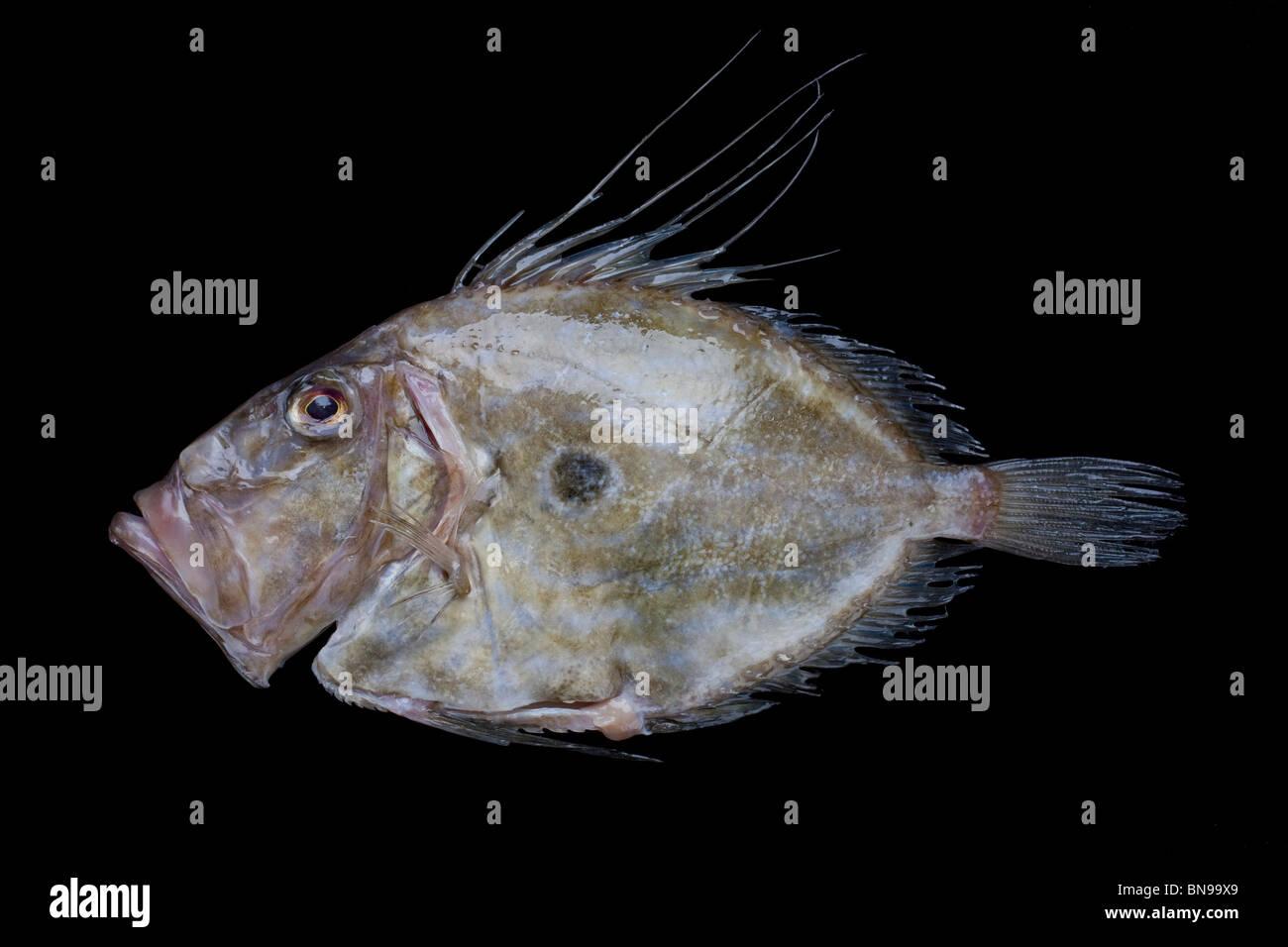 John Dory poisson mer également connu sous le nom de poisson St Pierre Photo Stock