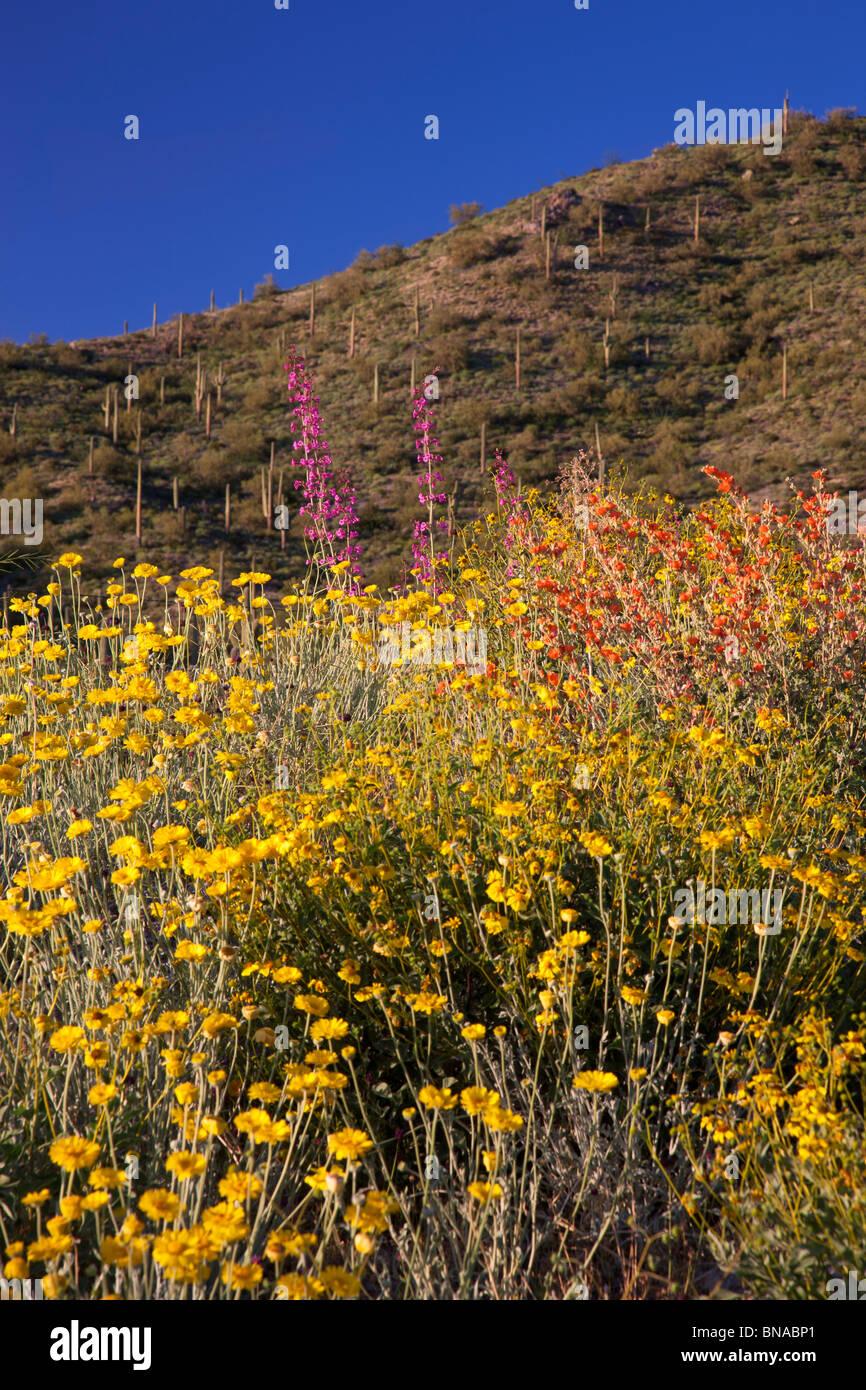 Fleurs sauvages, forêt nationale de Tonto, à l'Est de Phoenix, Arizona. Photo Stock