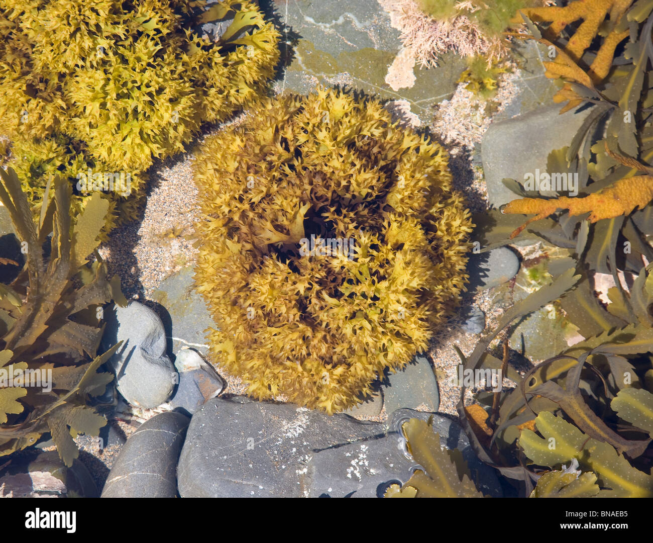 L'algue dans une piscine Rock Cornish Photo Stock