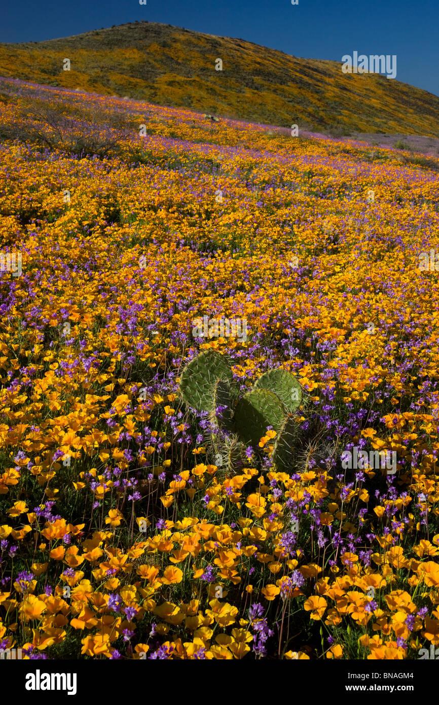 Fleurs sauvages dans les Black Hills, Arizona. Photo Stock