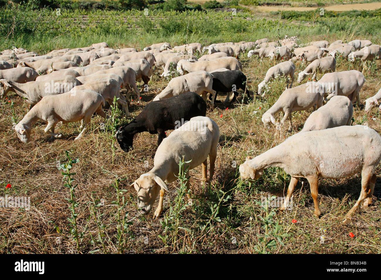 Les moutons. L'Espluga Calba (Lleida). La Catalogne. L'Espagne. Photo Stock
