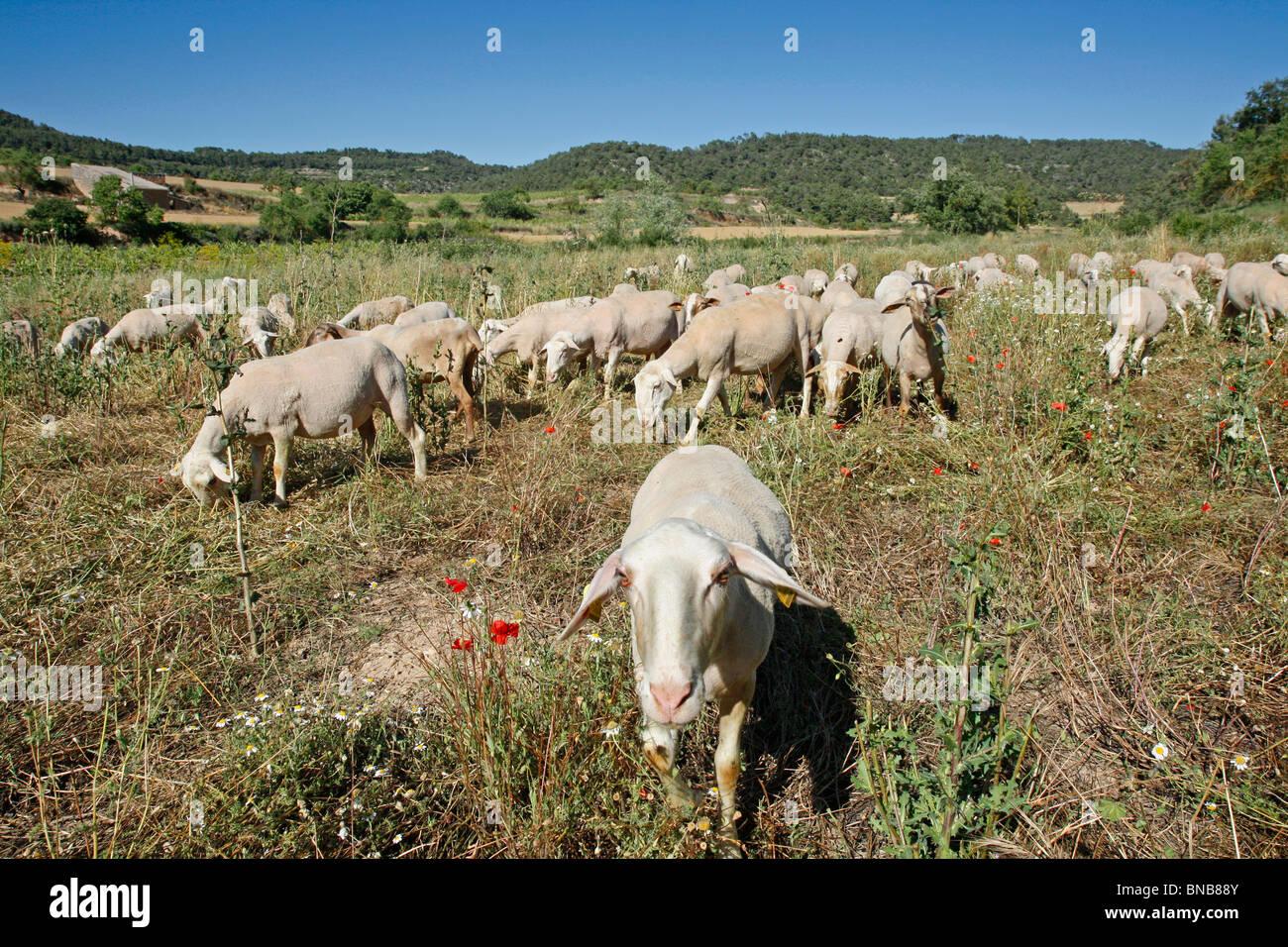 Les moutons L'Espluga Calba (Lleida). La Catalogne. L'Espagne. Photo Stock