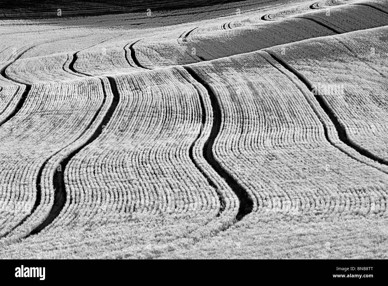 Lignes de plantation en champ de blé. La Palouse, Washington Photo Stock
