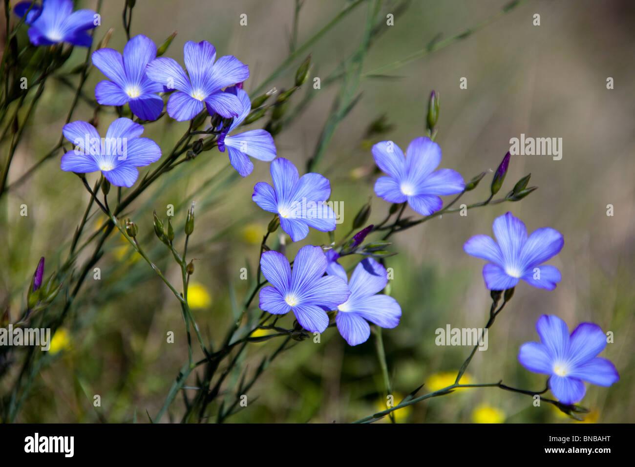 les petites fleurs bleues 5 p tales espagne voir l 39 espagne10 106341 banque d 39 images photo stock. Black Bedroom Furniture Sets. Home Design Ideas