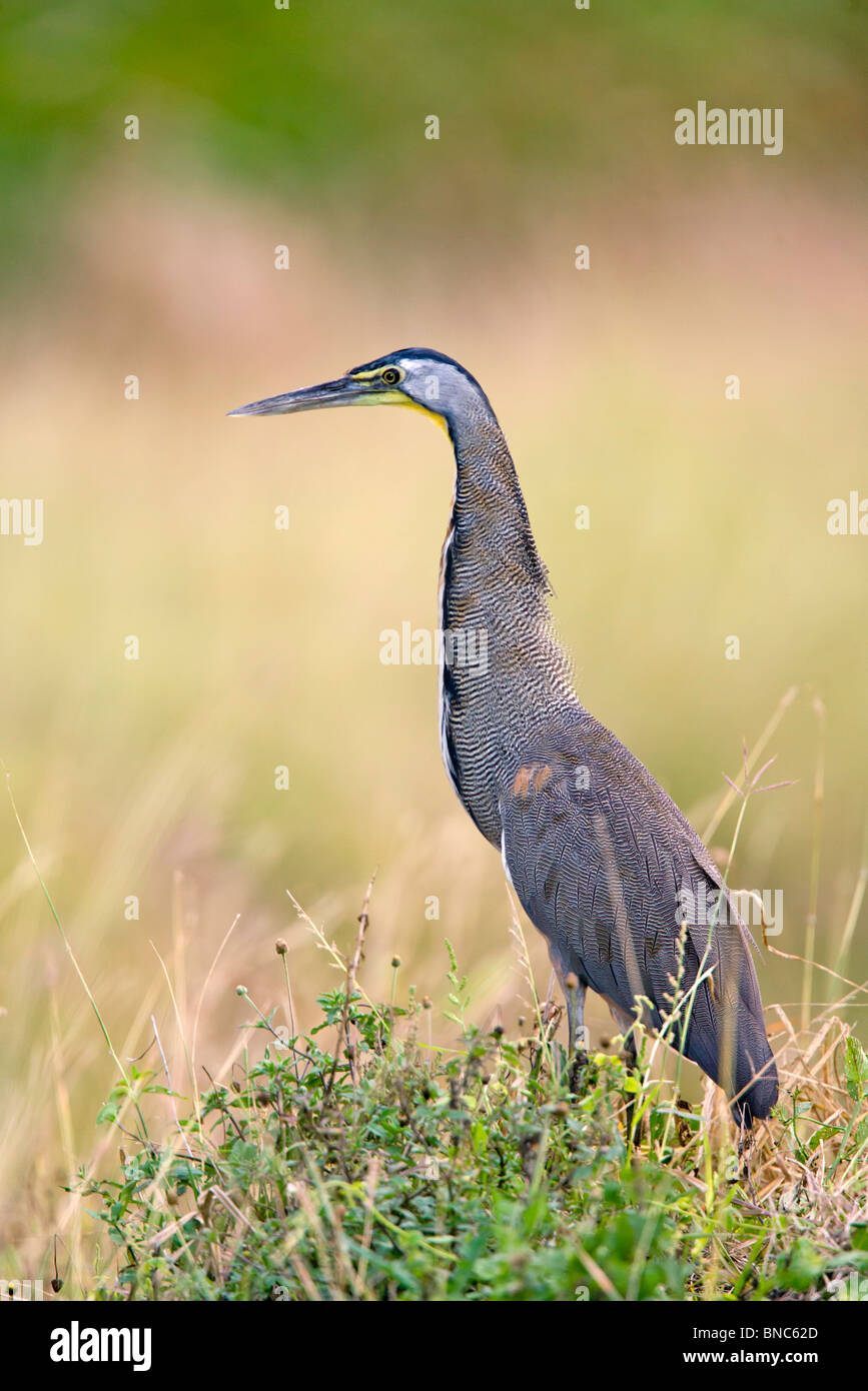 Bare-throated Tiger-Heron Banque D'Images