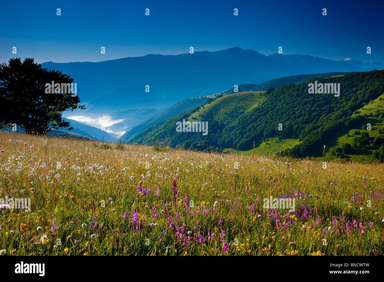 Fleurs sauvages à l'aube le long de la Forca Canapine dans le parc national des Monts Sibyllins, Ombrie Photo Stock