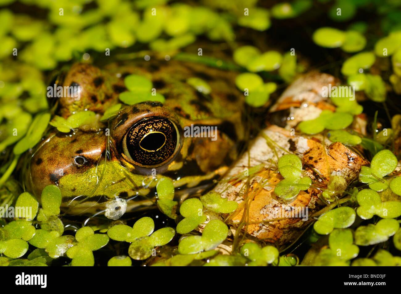 Close up d'un visage et des yeux de grenouille verte flottant dans un étang parmi les mauvaises herbes canard Banque D'Images