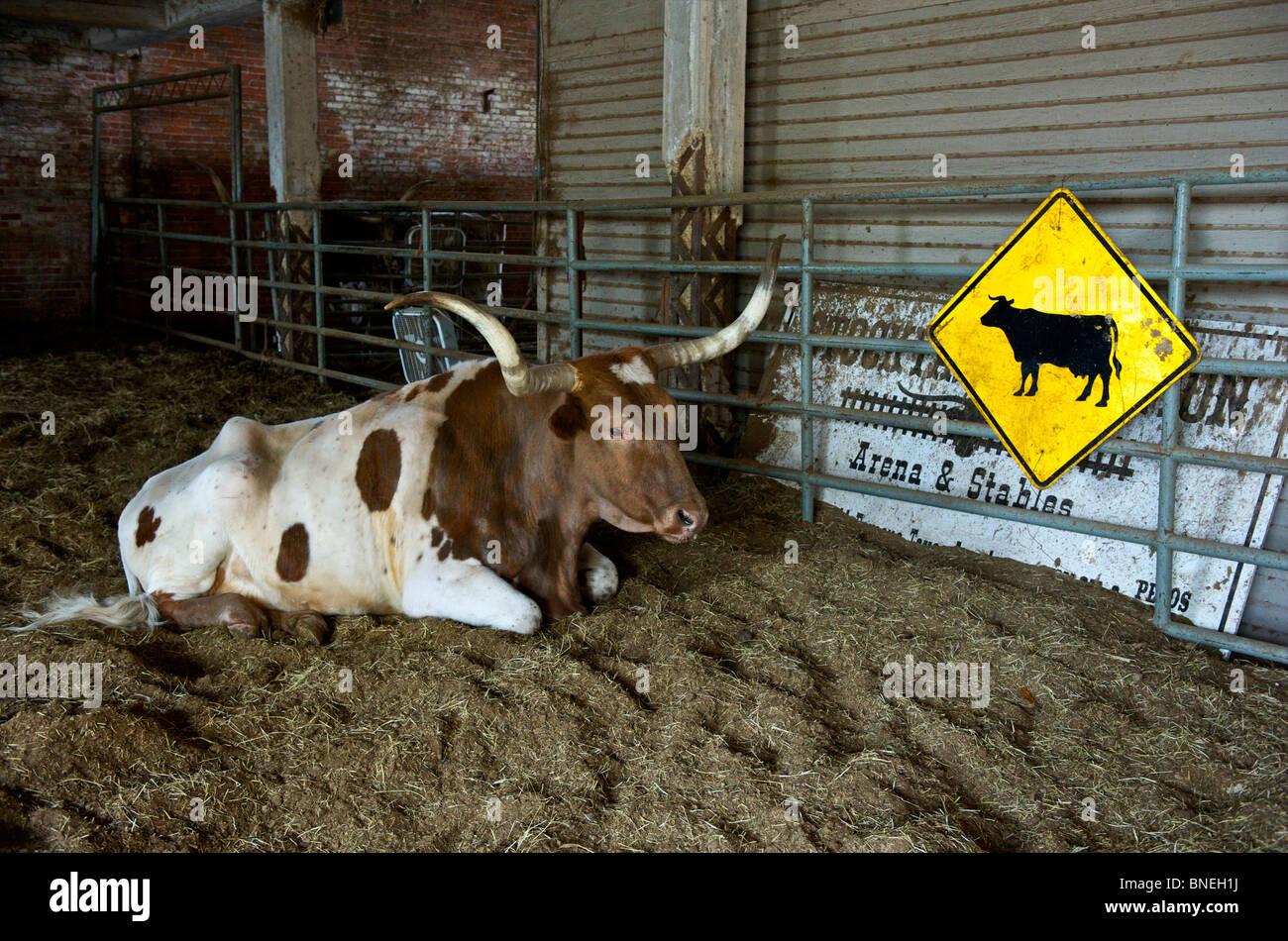Longhorns assis dans le ranch de Stockyards de Fort Worth, au Texas Banque D'Images