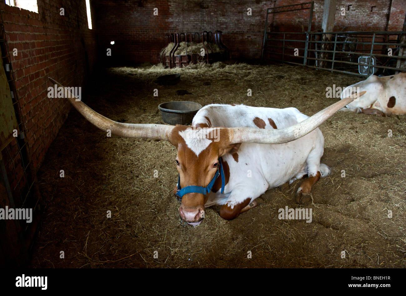Longhorns assis dans le ranch de Stockyards de Fort Worth Texas Banque D'Images