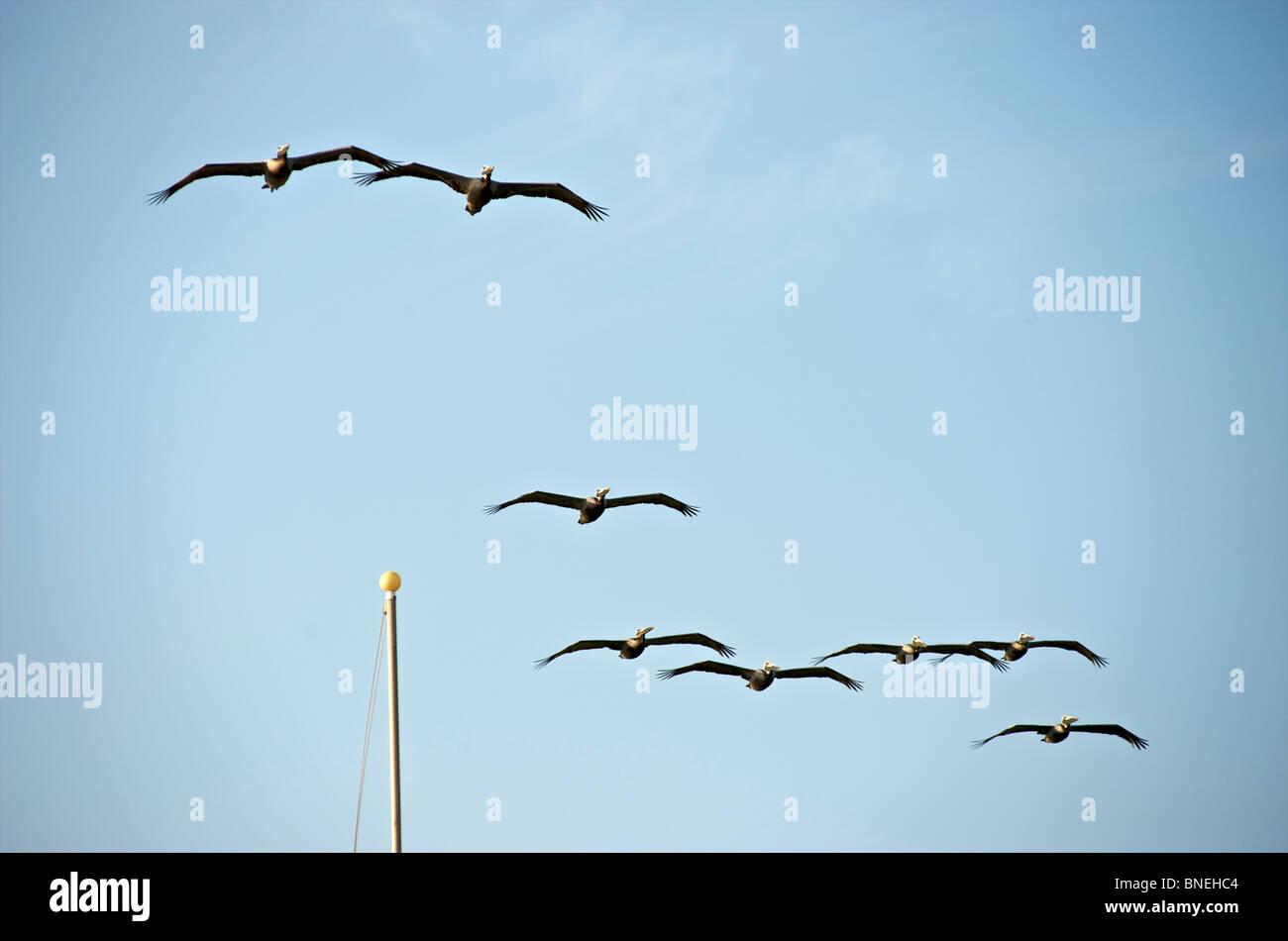 La formation en vol Pelican Galveston, Texas, en Amérique du Nord, Etats-Unis Banque D'Images