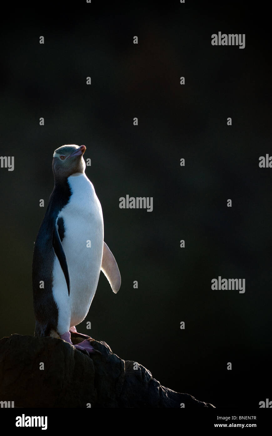 Yellow-eyed Penguin Megadyptes antipodes Photo Stock